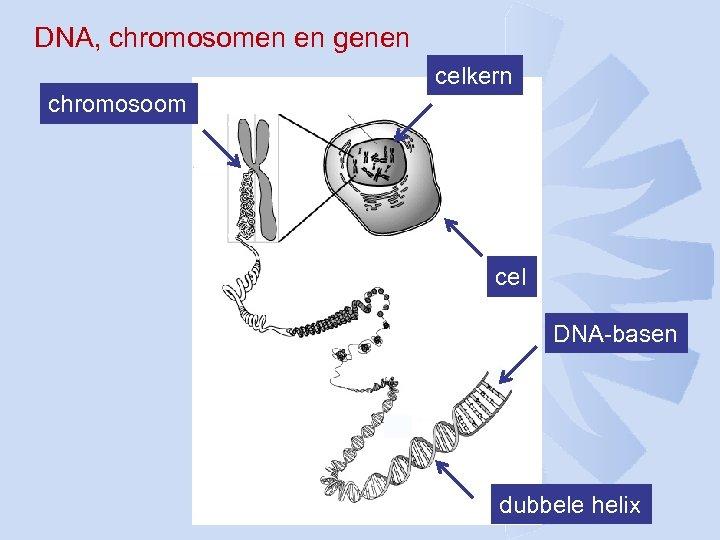 DNA, chromosomen en genen celkern chromosoom cel DNA-basen dubbele helix
