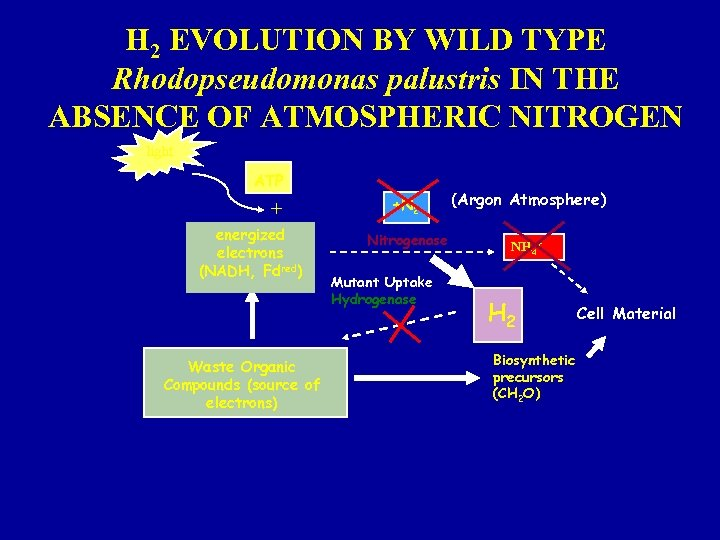 H 2 EVOLUTION BY WILD TYPE Rhodopseudomonas palustris IN THE ABSENCE OF ATMOSPHERIC NITROGEN