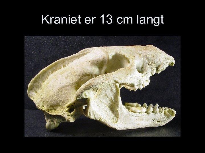 Kraniet er 13 cm langt