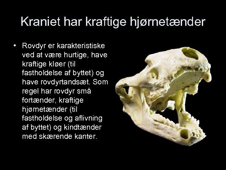 Kraniet har kraftige hjørnetænder • Rovdyr er karakteristiske ved at være hurtige, have kraftige