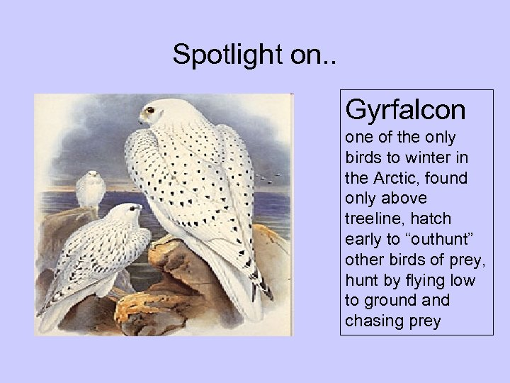Spotlight on. . Gyrfalcon one of the only birds to winter in the Arctic,