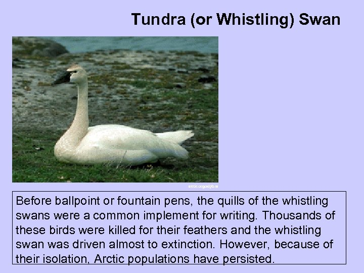 Tundra (or Whistling) Swan arctic. uoguelph. ca Before ballpoint or fountain pens, the quills