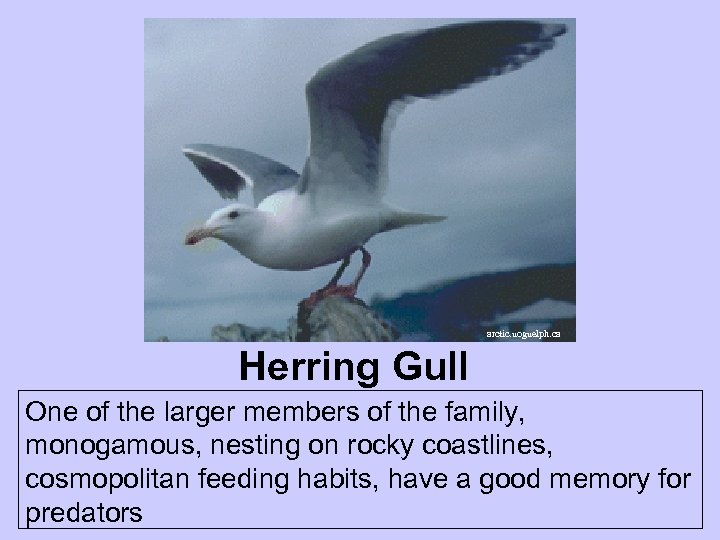 arctic. uoguelph. ca Herring Gull One of the larger members of the family, monogamous,