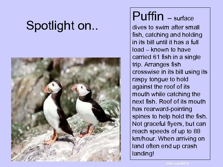 Spotlight on. . Puffin – surface dives to swim after small fish, catching and