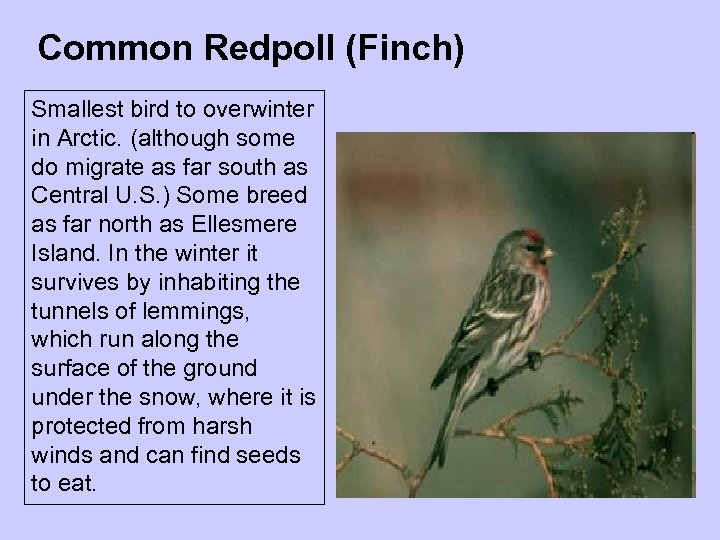 Common Redpoll (Finch) Smallest bird to overwinter in Arctic. (although some do migrate as