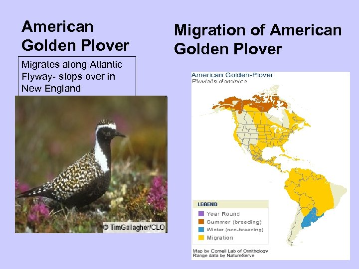 American Golden Plover Migrates along Atlantic Flyway- stops over in New England Migration of
