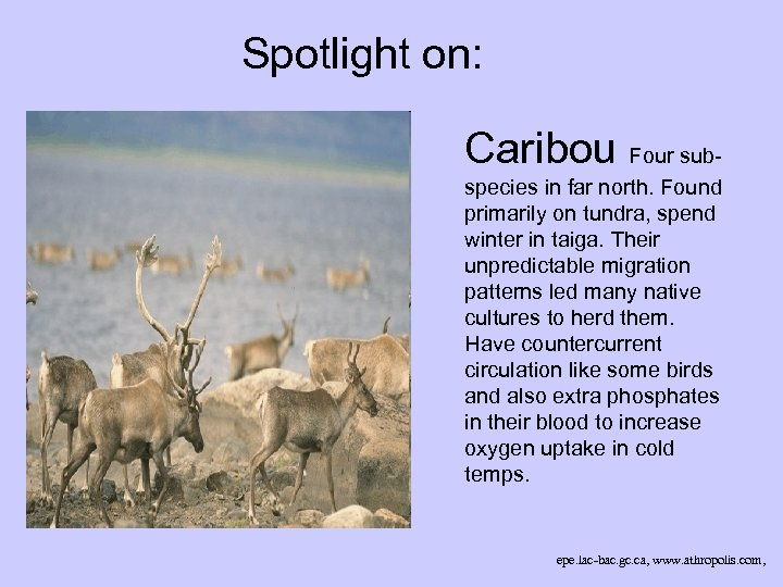 Spotlight on: Caribou Four subspecies in far north. Found primarily on tundra, spend winter