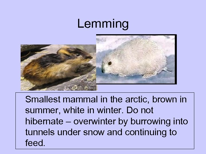 Lemming Smallest mammal in the arctic, brown in summer, white in winter. Do not