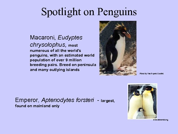 Spotlight on Penguins Macaroni, Eudyptes chrysolophus, most numerous of all the world's penguins, with