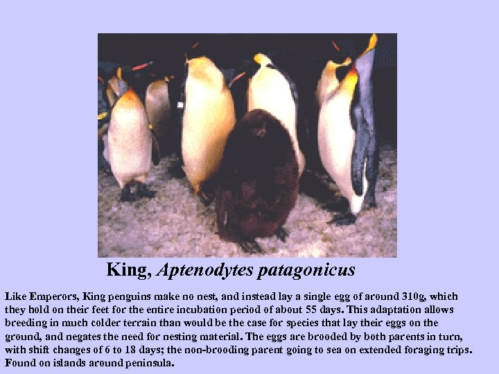 King, Aptenodytes patagonicus Like Emperors, King penguins make no nest, and instead lay a