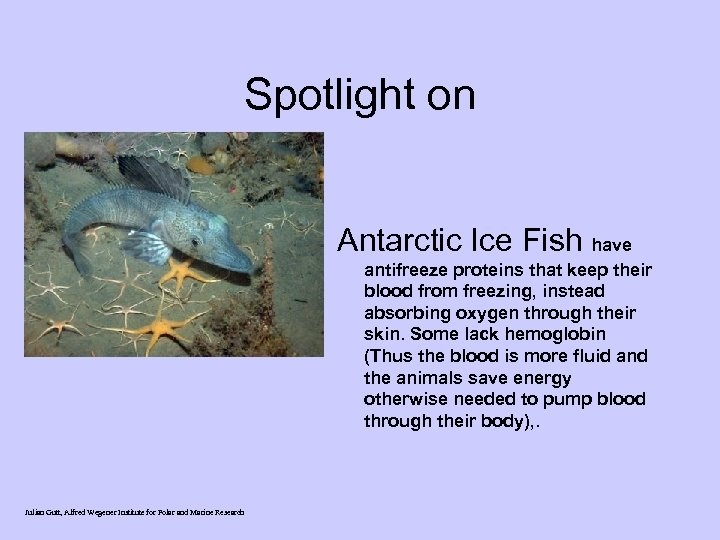 Spotlight on Antarctic Ice Fish have antifreeze proteins that keep their blood from freezing,