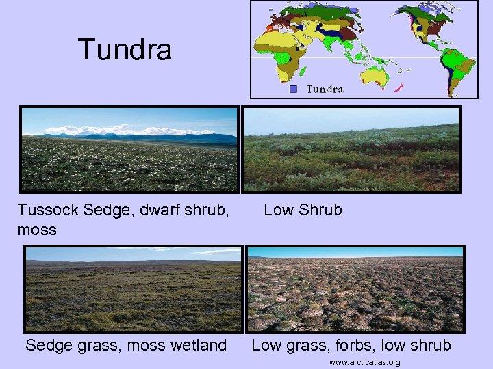 Tundra www. mbgnet. net Tussock Sedge, dwarf shrub, moss Sedge grass, moss wetland Low