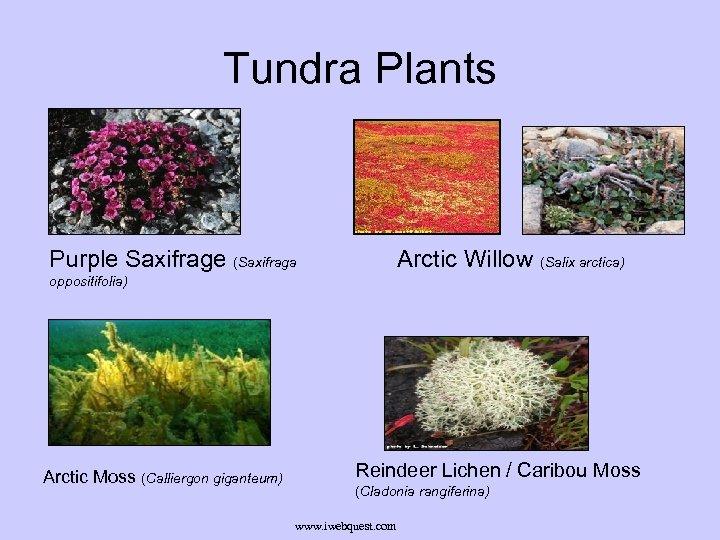 Tundra Plants Purple Saxifrage (Saxifraga Arctic Willow (Salix arctica) oppositifolia) Arctic Moss (Calliergon giganteum)
