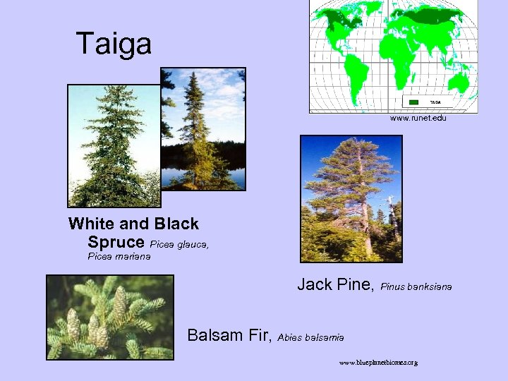 Taiga www. runet. edu White and Black Spruce Picea glauca, Picea mariana Jack Pine,