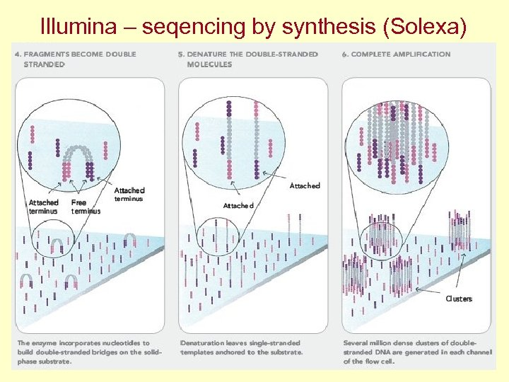 Illumina – seqencing by synthesis (Solexa)