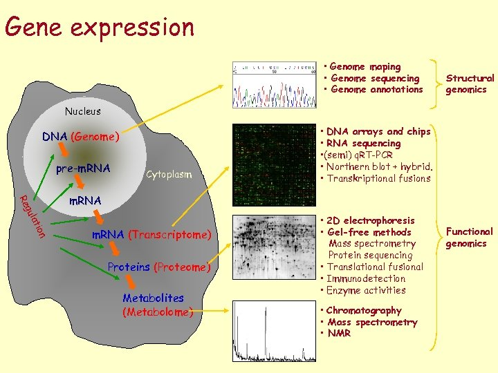 Gene expression • Genome maping • Genome sequencing • Genome annotations Structural genomics Nucleus