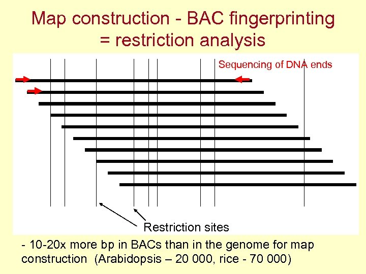 Map construction - BAC fingerprinting = restriction analysis Sequencing of DNA ends Restriction sites