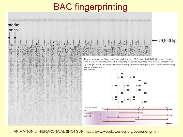 BAC fingerprinting ANIMATION of HIERARCHICAL SHOTGUN: http: //www. weedtowonder. org/sequencing. html