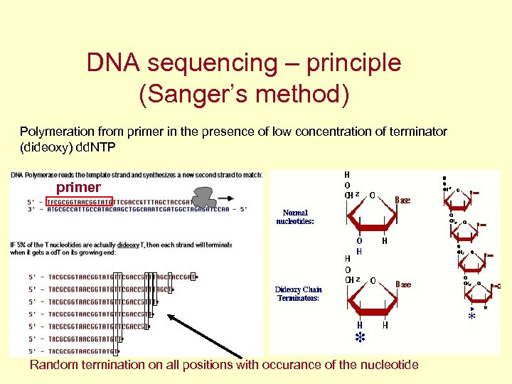 DNA sequencing – principle (Sanger's method) Polymeration from primer in the presence of low