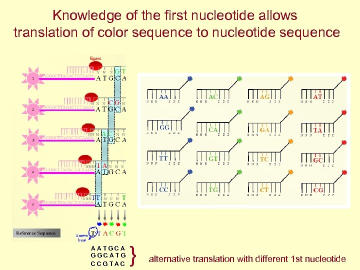 Knowledge of the first nucleotide allows translation of color sequence to nucleotide sequence AATGCA