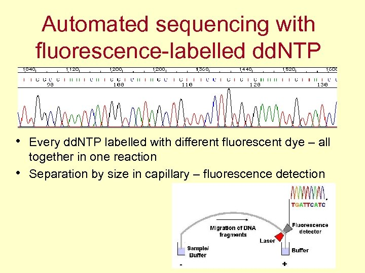 Automated sequencing with fluorescence-labelled dd. NTP • Every dd. NTP labelled with different fluorescent