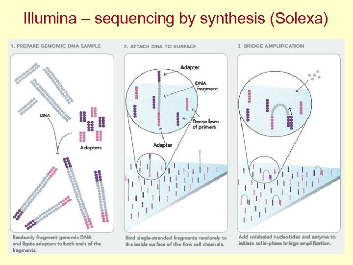 Illumina – sequencing by synthesis (Solexa)