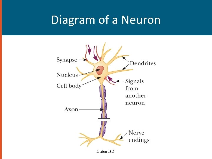 Diagram of a Neuron Section 18. 8