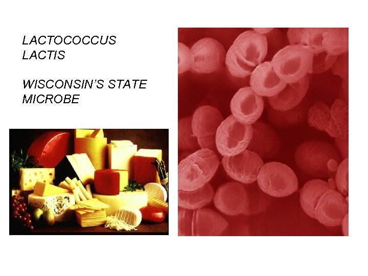LACTOCOCCUS LACTIS WISCONSIN'S STATE MICROBE