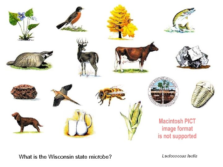 What is the Wisconsin state microbe? Lactococcus lactis