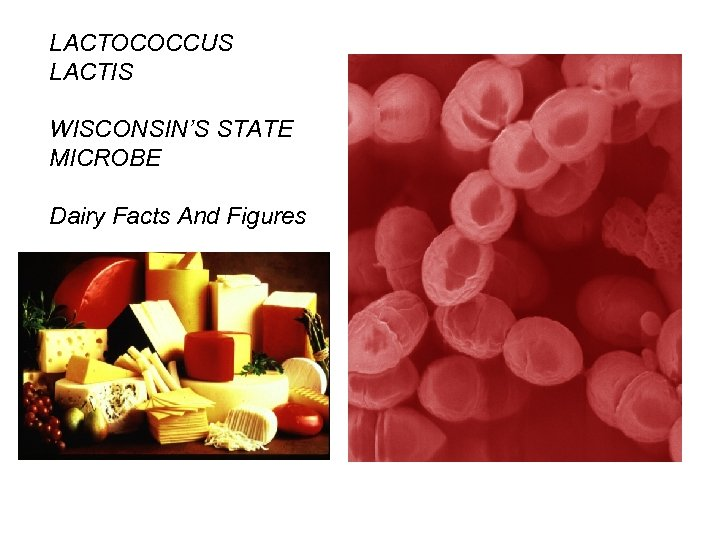 LACTOCOCCUS LACTIS WISCONSIN'S STATE MICROBE Dairy Facts And Figures