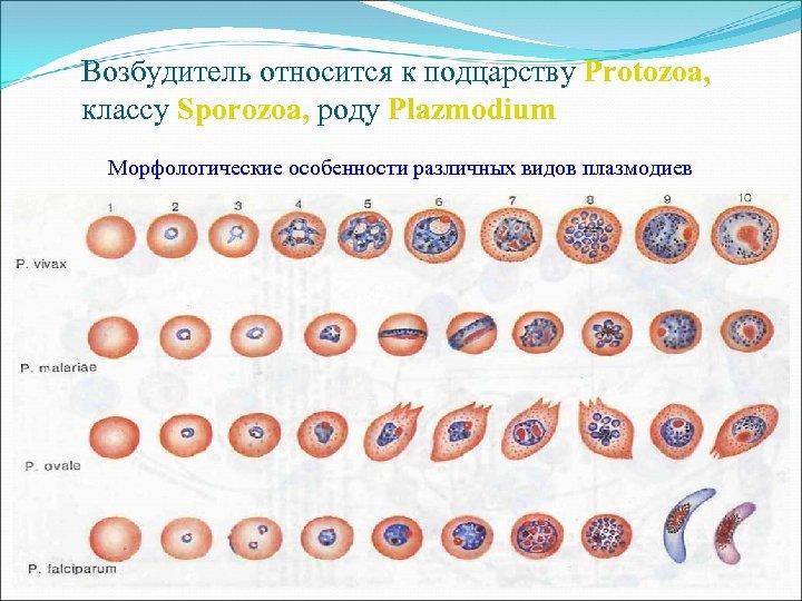 Возбудитель относится к подцарству Protozoa, классу Sporozoa, роду Plazmodium Морфологические особенности различных видов плазмодиев