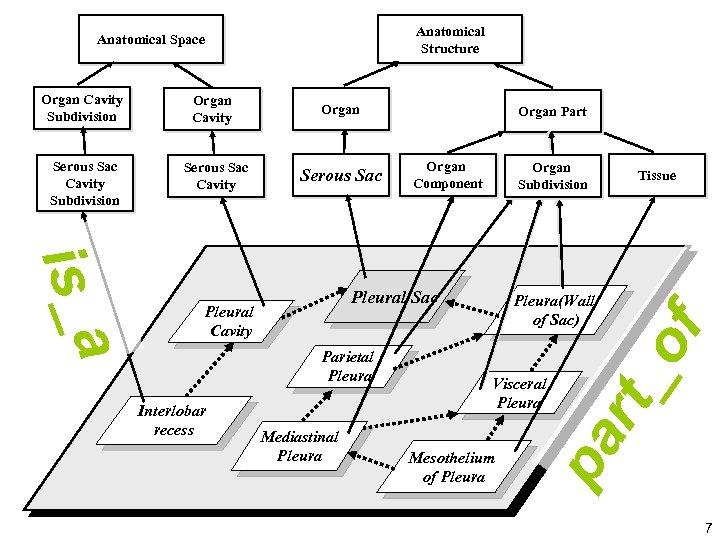 Anatomical Structure Organ Cavity Subdivision Organ Cavity Organ Serous Sac Cavity Subdivision Serous Sac