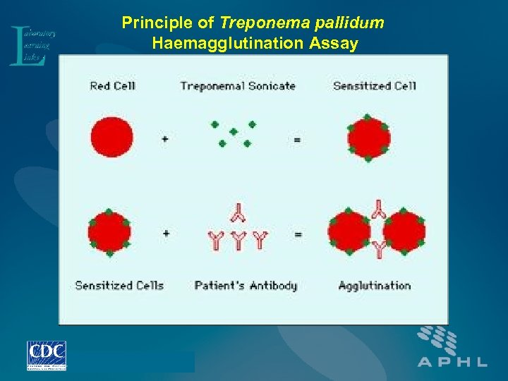 Principle of Treponema pallidum Haemagglutination Assay