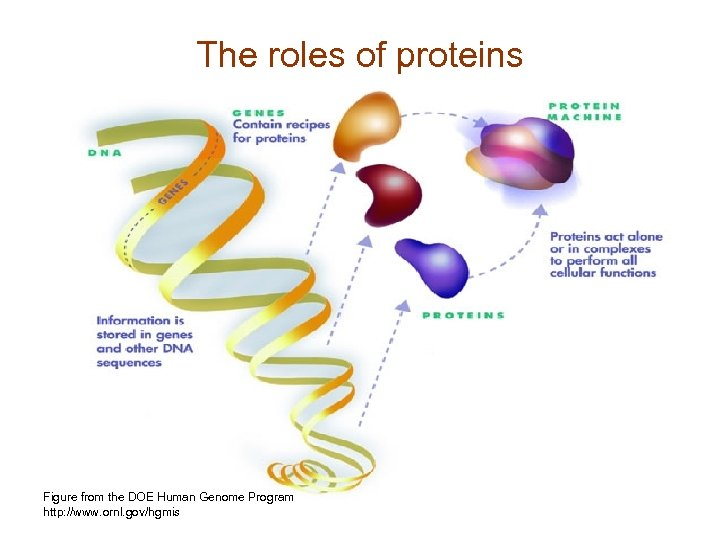 The roles of proteins • A protein family is… Figure from the DOE Human