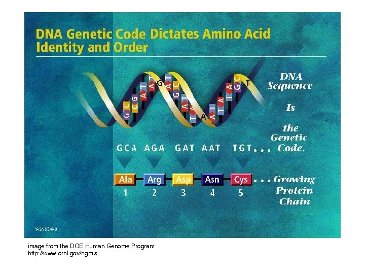 image from the DOE Human Genome Program http: //www. ornl. gov/hgmis