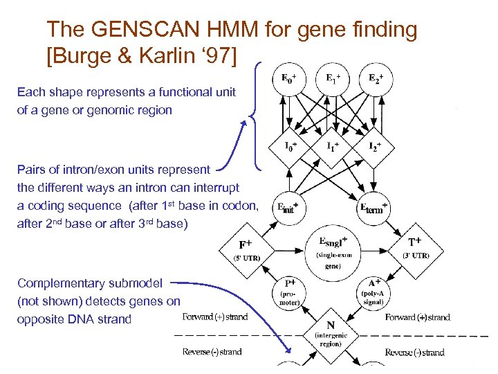 The GENSCAN HMM for gene finding [Burge & Karlin ' 97] Each shape represents