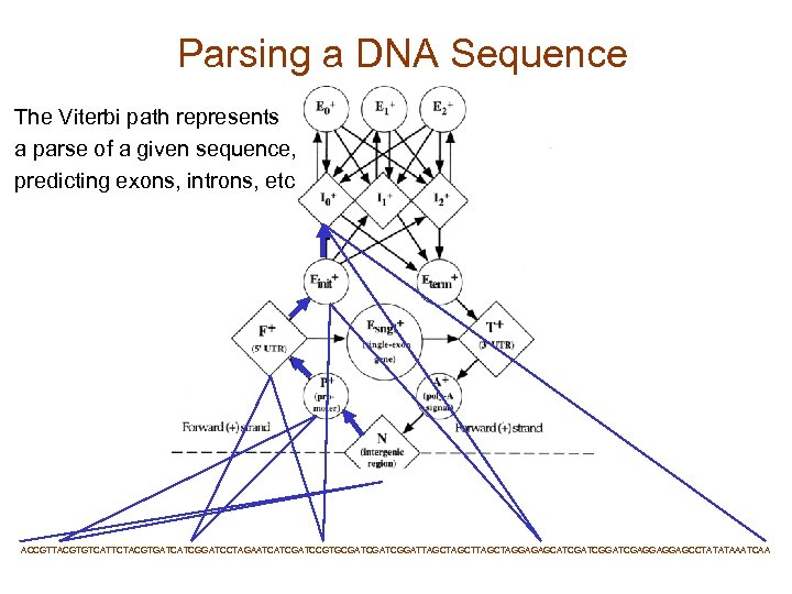 Parsing a DNA Sequence The Viterbi path represents a parse of a given sequence,