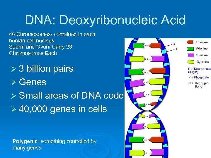 DNA: Deoxyribonucleic Acid 46 Chromosomes- contained in each human cell nucleus Sperm and Ovum