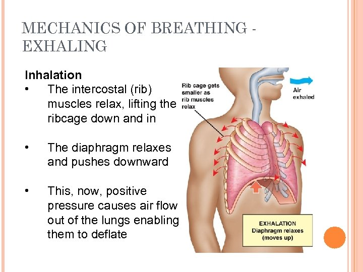 MECHANICS OF BREATHING EXHALING Inhalation • The intercostal (rib) muscles relax, lifting the ribcage