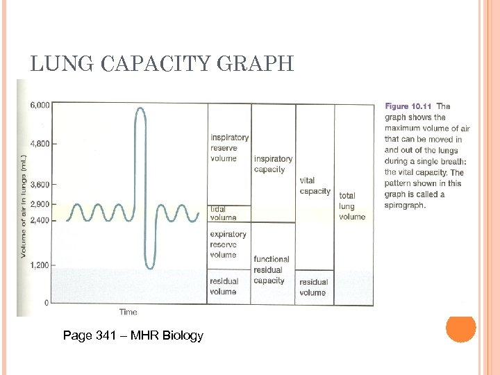 LUNG CAPACITY GRAPH Page 341 – MHR Biology
