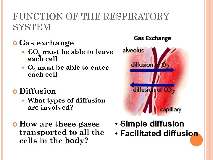 FUNCTION OF THE RESPIRATORY SYSTEM Gas exchange CO 2 must be able to leave
