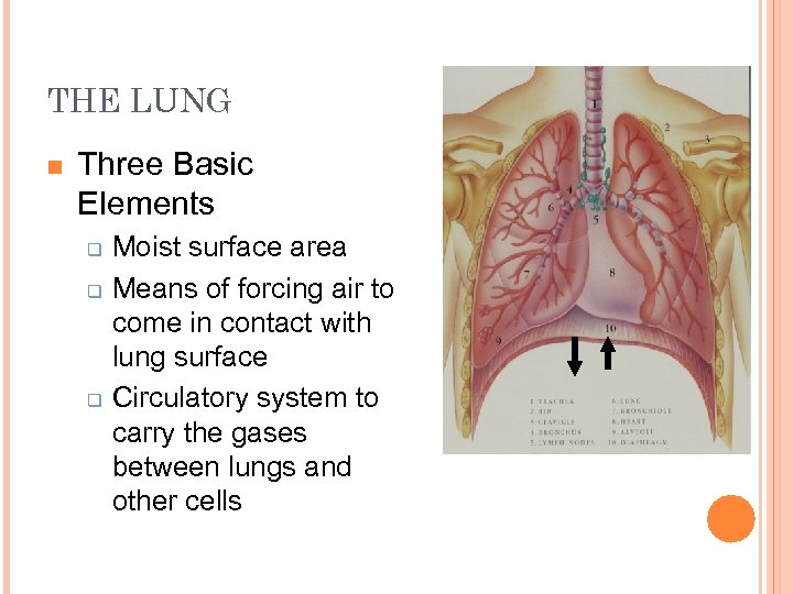 THE LUNG n Three Basic Elements q q q Moist surface area Means of
