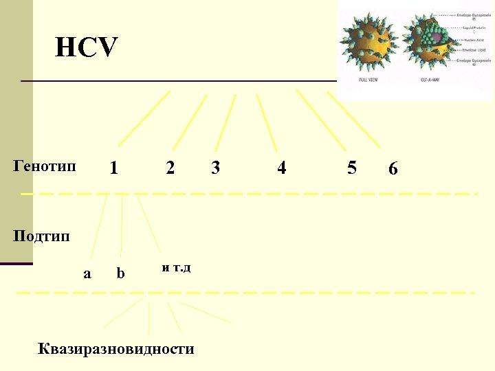 HCV Генотип 1 2 Подтип a b и т. д Квазиразновидности 3 4 5