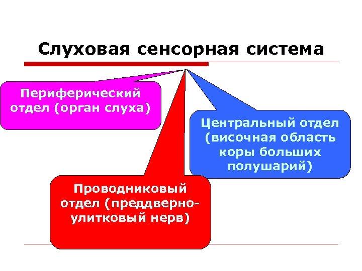 Слуховая сенсорная система Периферический отдел (орган слуха) Центральный отдел (височная область коры больших полушарий)