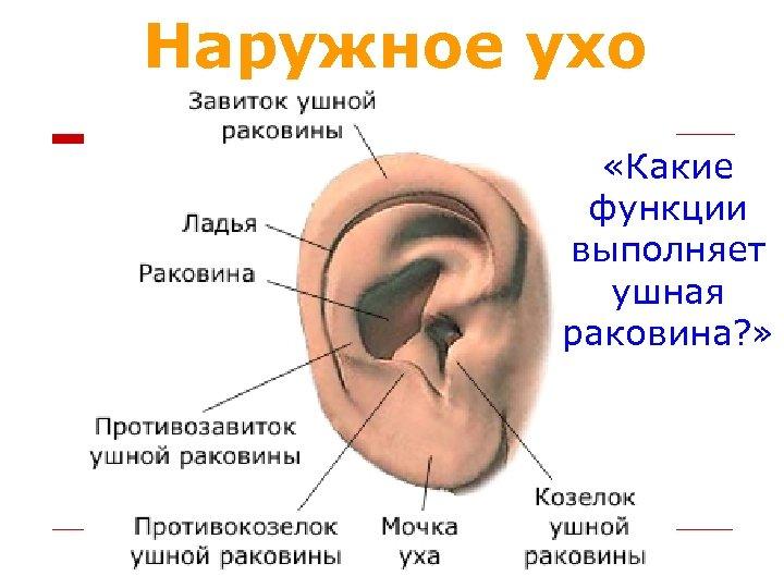 Наружное ухо «Какие функции выполняет ушная раковина? »