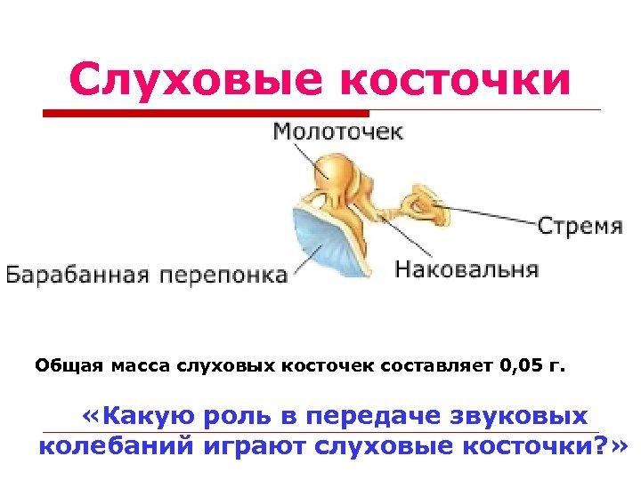 Слуховые косточки Общая масса слуховых косточек составляет 0, 05 г. «Какую роль в передаче