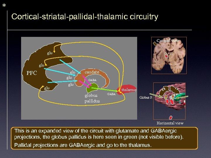 * Cortical-striatal-pallidal-thalamic circuitry Coronal view glu PFC glu glu caudate GABA glu thalamus globus