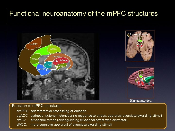 Functional neuroanatomy of the m. PFC structures Coronal view dm. PFC d. ACC caudate