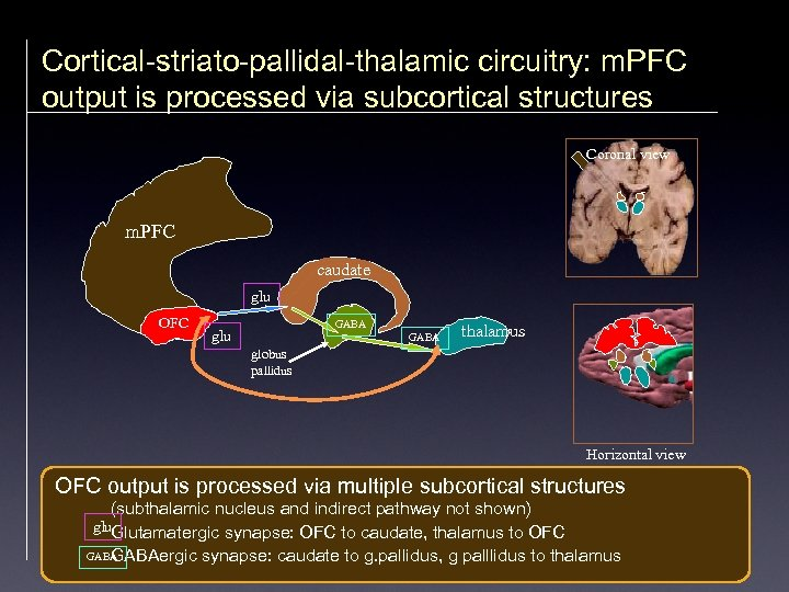 Cortical-striato-pallidal-thalamic circuitry: m. PFC output is processed via subcortical structures Coronal view m. PFC