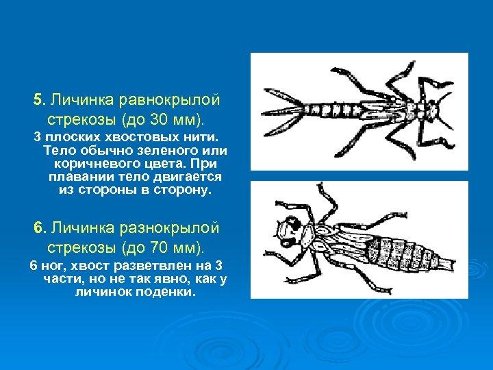 5. Личинка равнокрылой стрекозы (до 30 мм). 3 плоских хвостовых нити. Тело обычно зеленого
